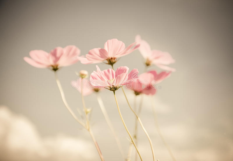 Vintage color cosmos flower. Vintage color style cosmos flower in the garden royalty free stock images