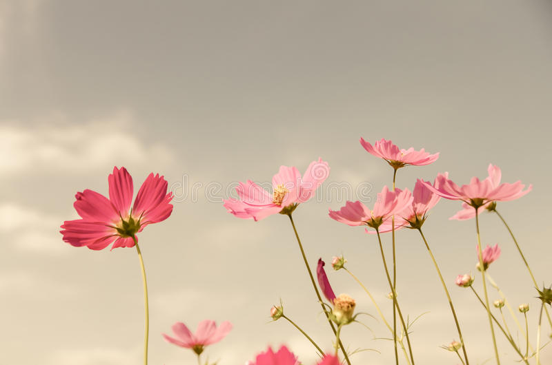 Vintage color cosmos flower. Vintage color style cosmos flower in the garden royalty free stock photography