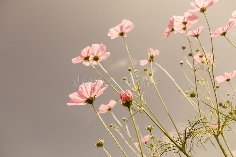 Vintage color cosmos flower. Vintage color style cosmos flower in the garden stock image