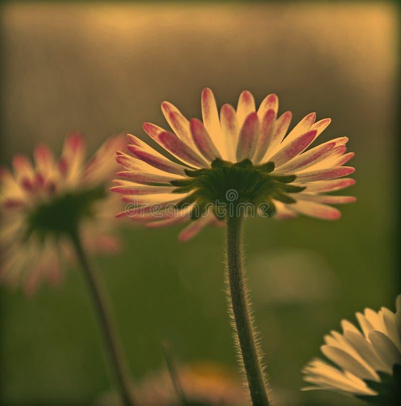 Vintage Daisy stock photo. Image of petals, daisy, field ...