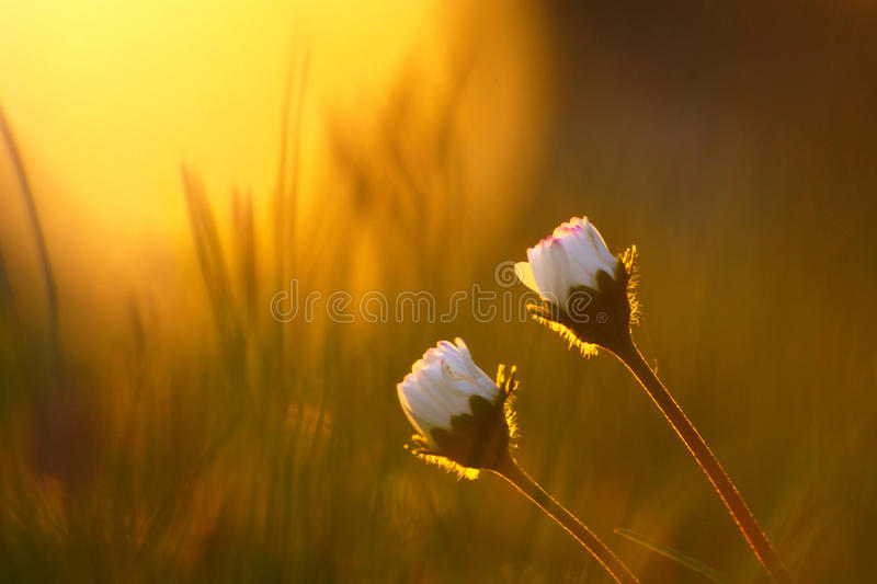 Vintage Daisy Flowers In Spring Sunset. Couple of tiny daisy flowers in green grass during sunset in spring stock photo