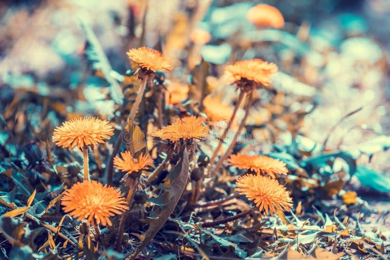 Vintage dandelion lawn background. Blooming dandelion flowers in spring stock photography