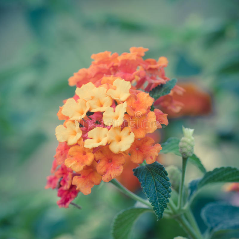 Vintage de la flor del camara del Lantana fotos de archivo