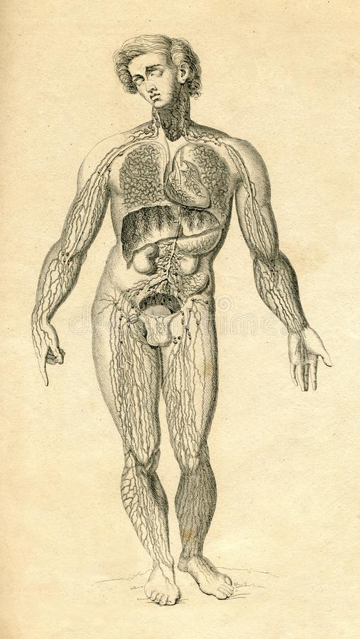 Man Anatomy Drawing Image collections - human body anatomy