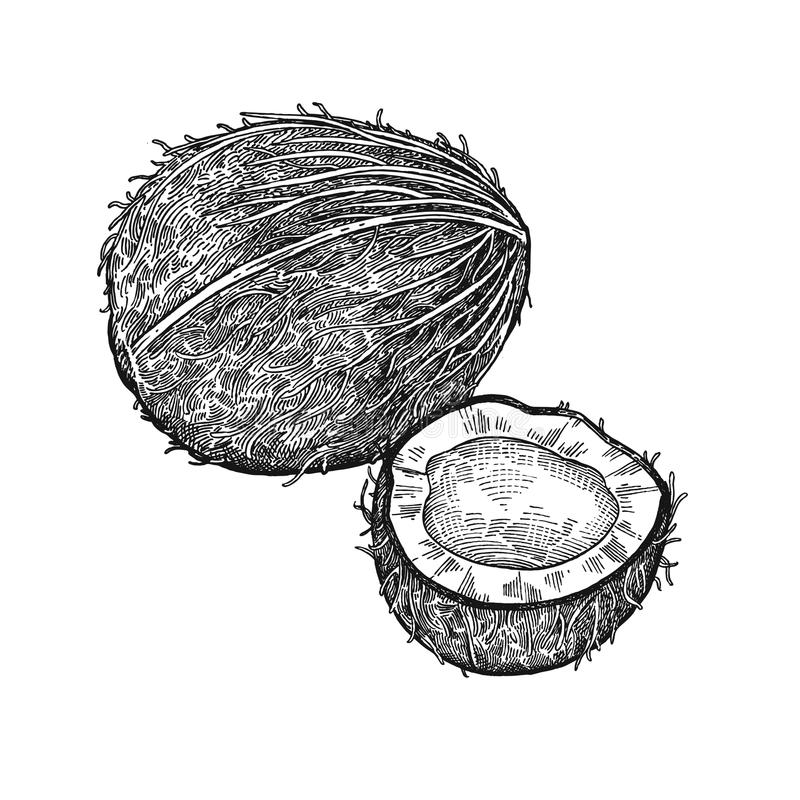 Vintage engraving coconut. Coconut. Realistic vector illustration of plant. Nuts isolated on white background. Hand drawing. Decoration for the menu and kitchen stock illustration