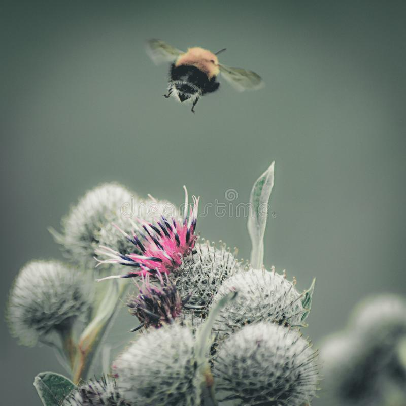Vintage faded close-up image of a bumblebee flying away from purple Great Globe Thistle flower, blurred green background stock images