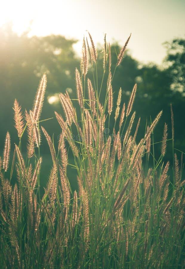 Vintage filtré de l'herbe fleurissante image libre de droits