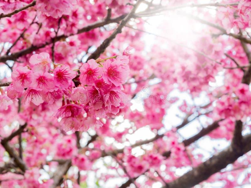 Vintage filtrado de la flor de cerezo fotos de archivo