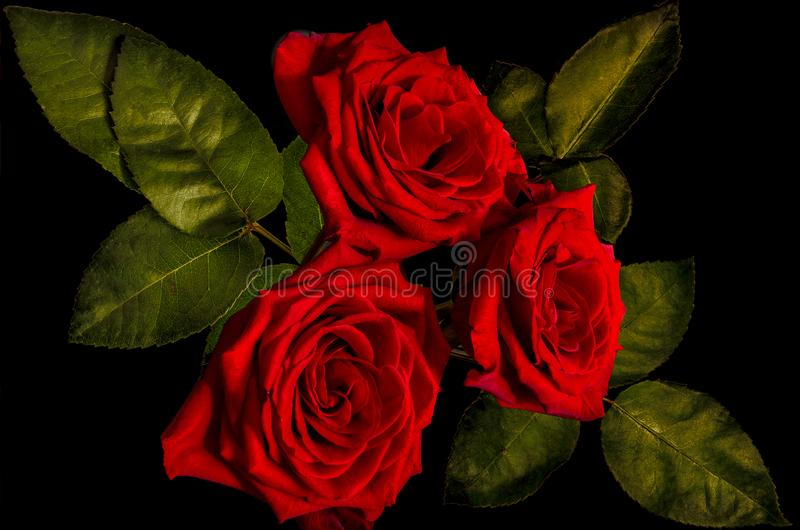 Three dark red roses bouquet close up on black background royalty free stock photos