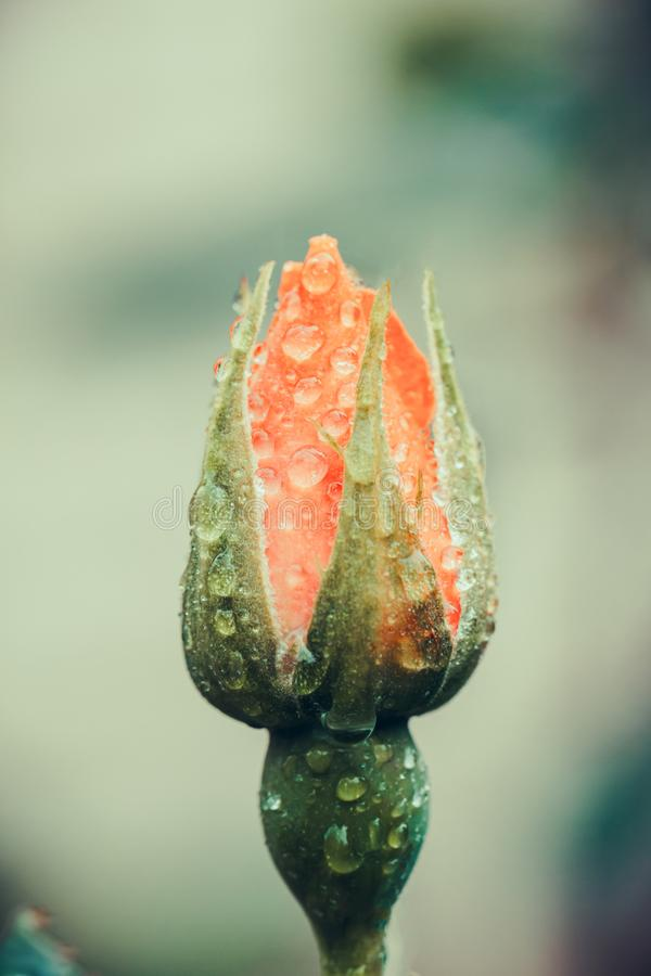 Vintage Flower rose with drops of water, close up detail. Toned. Soft focus.  stock photography