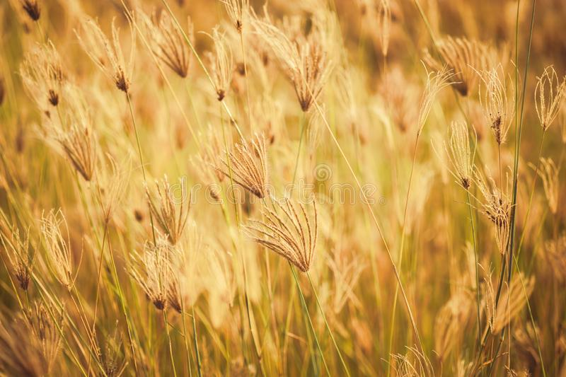 Vintage Grasses Field. Grasses blooming in the field, color effect in vintage color style royalty free stock images