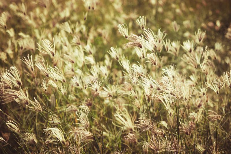 Vintage Grasses Field. Grasses blooming in the field, color effect in vintage color style stock photos