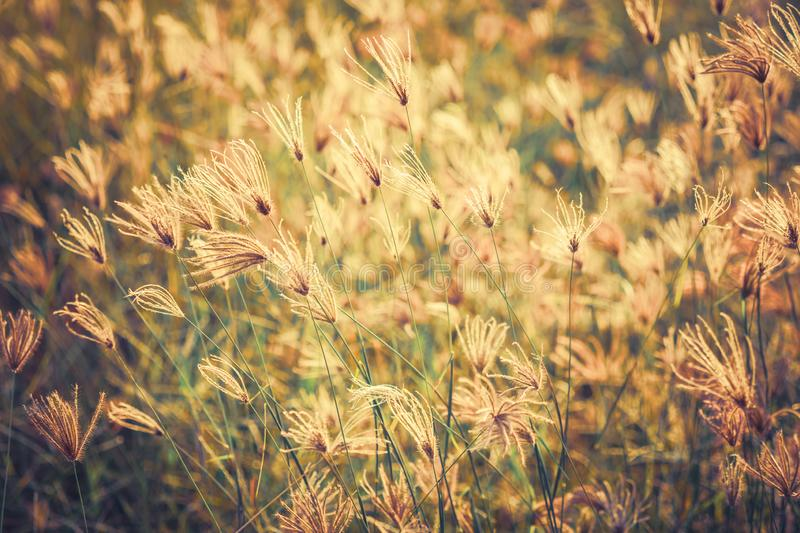 Vintage Grasses Field. Grasses blooming in the field, filter effect in vintage color style stock image