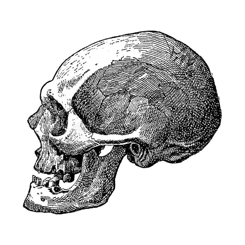 Vintage graving van een schedel royalty-vrije illustratie