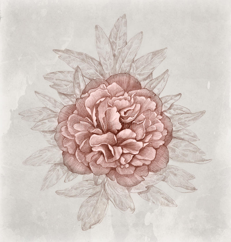 Vintage illustration of peony flower. Perfect for greeting card royalty free illustration