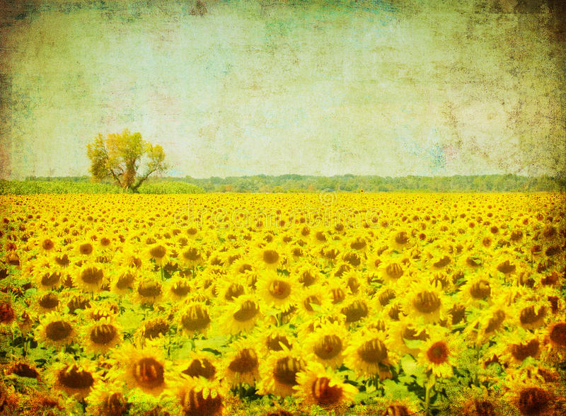 Vintage image of sunflower field. Retro vintage image of sunflower field stock photography