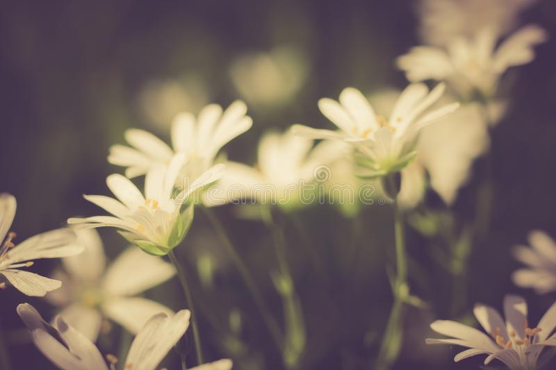 Vintage photo of beautiful small flowers. Useful as background. Beautiful small flowers growing in garden, photographed in sunset light. Photo with vintage mood royalty free stock image