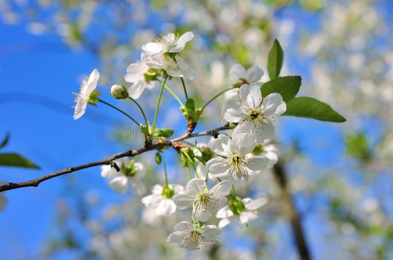 Vintage photo of cherry tree flowers stock photos