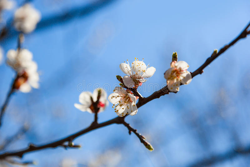 Vintage photo of cherry tree flowers with blue sky. Blured concept royalty free stock photo