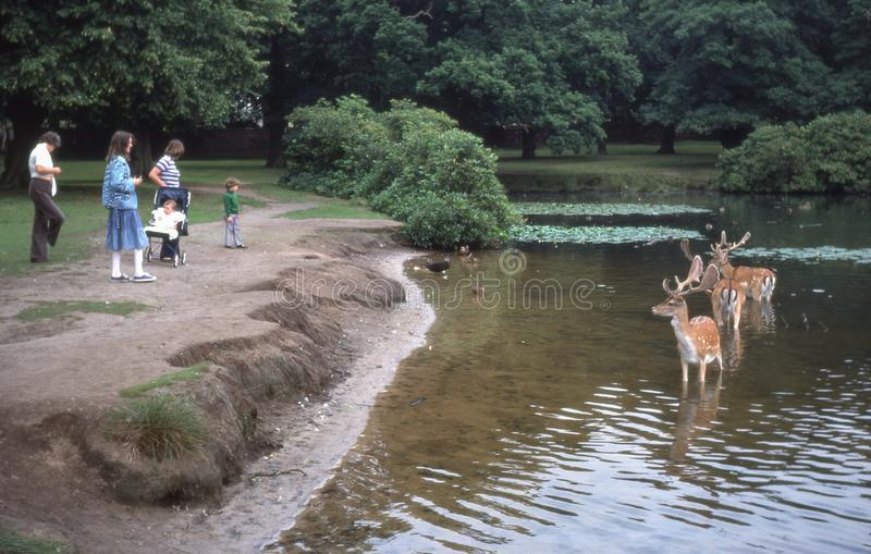 Vintage photo circa 1978, people with deer in lake. Cheshire, UK - Circa, 1978: Fallow deer standing in a lake at Dunham Massey, England, with people close by royalty free stock image