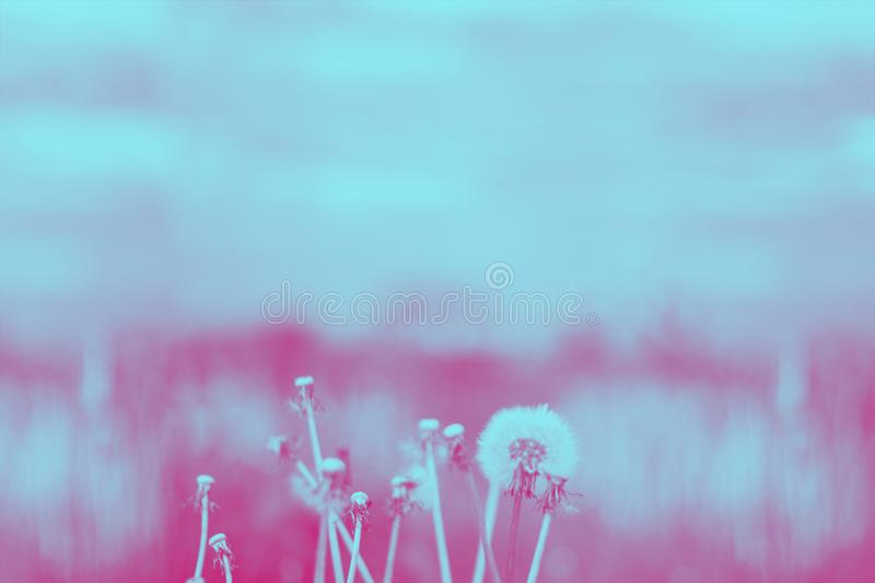 Vintage photo of dandelions on the background of meadow and sky. Blured. Duotone. Horizontal royalty free stock images