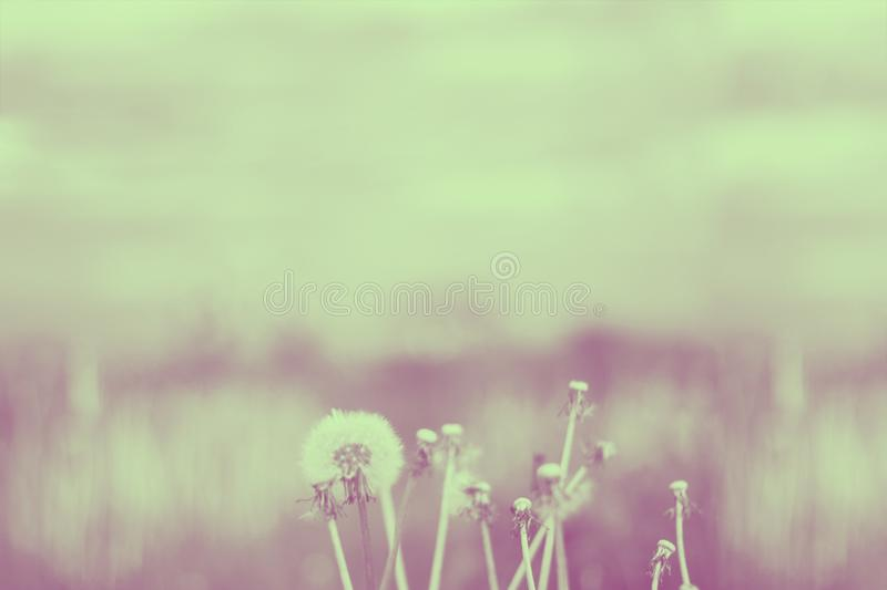 Vintage photo of dandelions on the background of meadow and sky. Blured. Duotone yellow and violet. Horizontal royalty free stock photo
