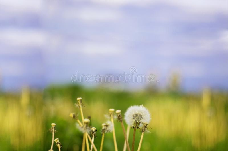 Vintage photo of dandelions on the background of meadow and sky. Blured. Horizontal royalty free stock photography