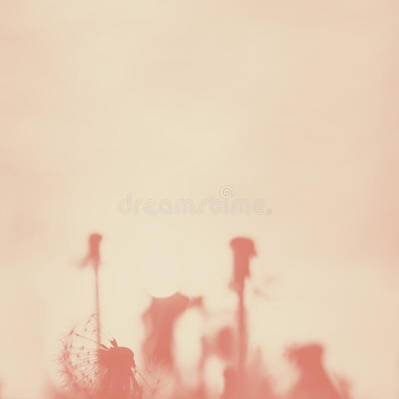 Vintage photo of defocused dandelions. Square background, coral, duotone stock image