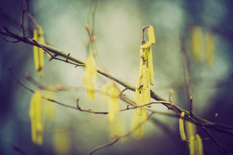 Vintage photo of hazelnuts catkins. Hazel catkins - Corylus avellana in early spring closeup, highly allergenic pollen. photo with vintage mood stock photos