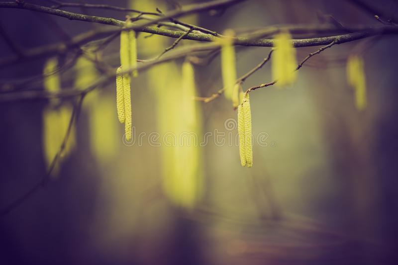 Vintage photo of hazelnuts catkins. Hazel catkins - Corylus avellana in early spring closeup, highly allergenic pollen. photo with vintage mood royalty free stock image