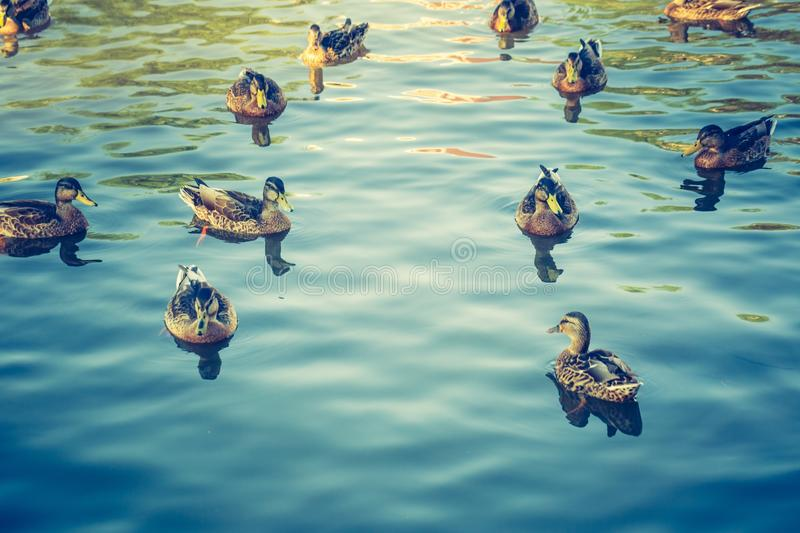 Vintage photo of herd of wild ducks swimming in small pond royalty free stock image