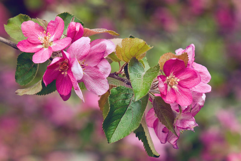 Vintage photo of pink apple tree flowers. Shallow depth of field. Vintage photo of pink apple tree flowers in spring. Shallow depth of field stock photo
