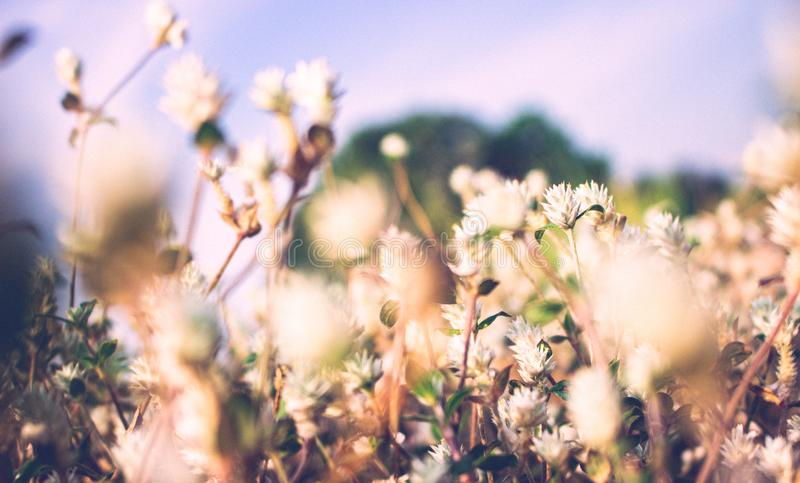 Vintage photo of small white grass flowers, blur front focus, film filter effect style. Background, abstract, art, autumn, beauty, bloom, blossom, blurred stock image