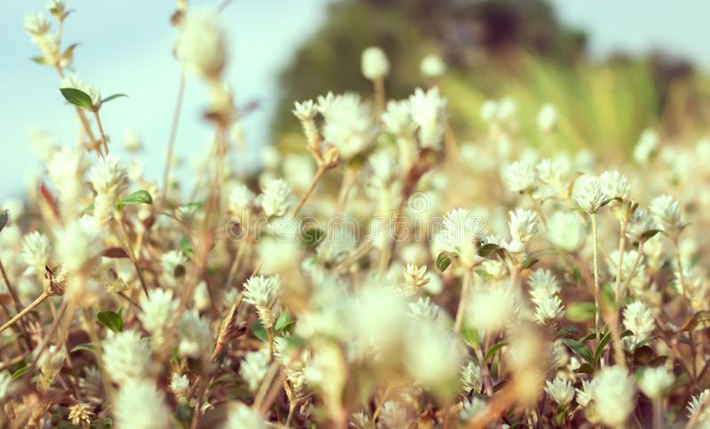 Vintage photo of small white grass flowers, blur front focus, film filter effect style. Background, abstract, art, autumn, beauty, bloom, blossom, blurred stock images