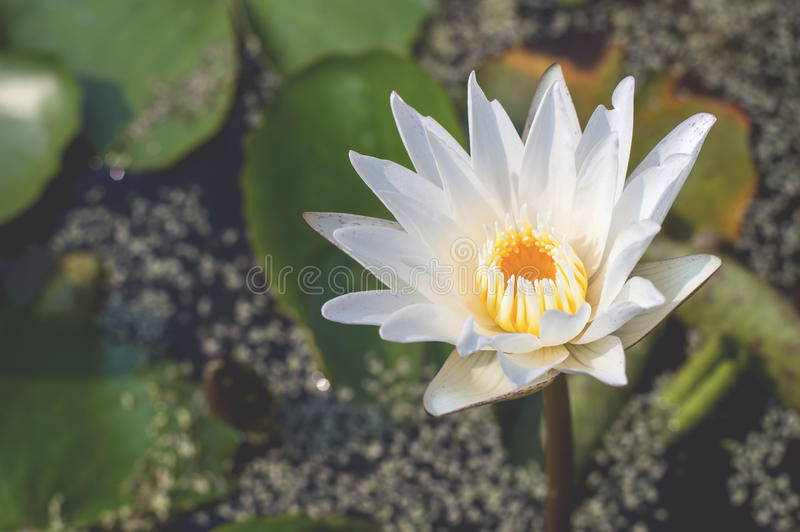 Vintage pictures white lotus and flowers stock images