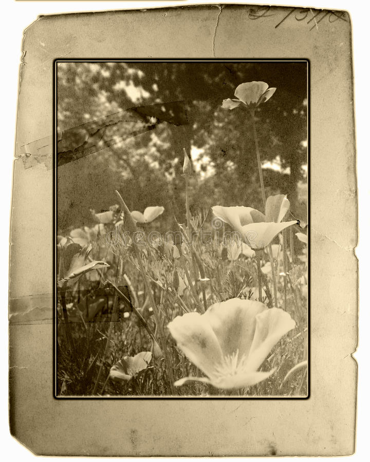 Vintage Poppies royalty free stock photo