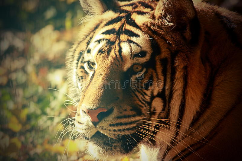 Vintage portrait of a tiger. At the zoo royalty free stock photography