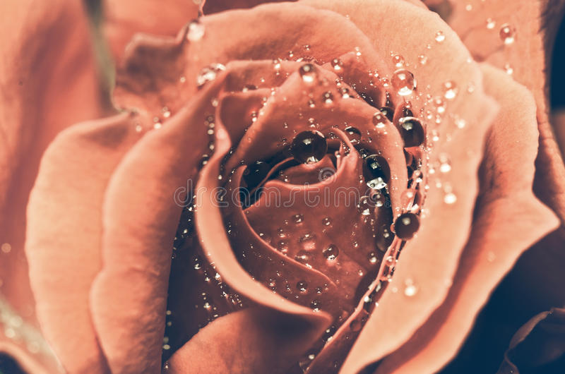 Vintage red rose stock image