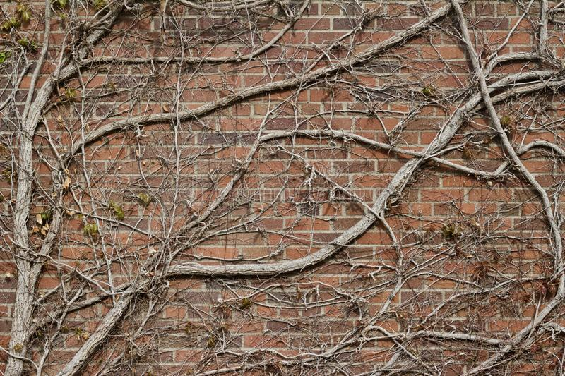 Vintage red brown color brick wall texture with with bare vine branches attached. Vintage reddish brown color brick wall texture background with with flat bare stock images