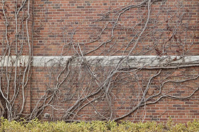 Vintage red brown color brick wall texture with with bare vine branches attached. Vintage reddish brown color brick wall texture background with with flat bare stock photo