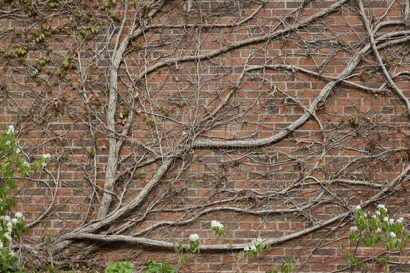 Vintage red brown color brick wall texture with with bare vine branches attached. Vintage reddish brown color brick wall texture background with with flat bare stock image