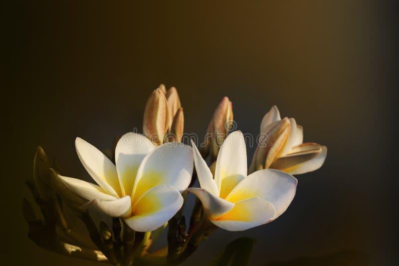 Vintage retro colour frangipani yellow white flower stock images