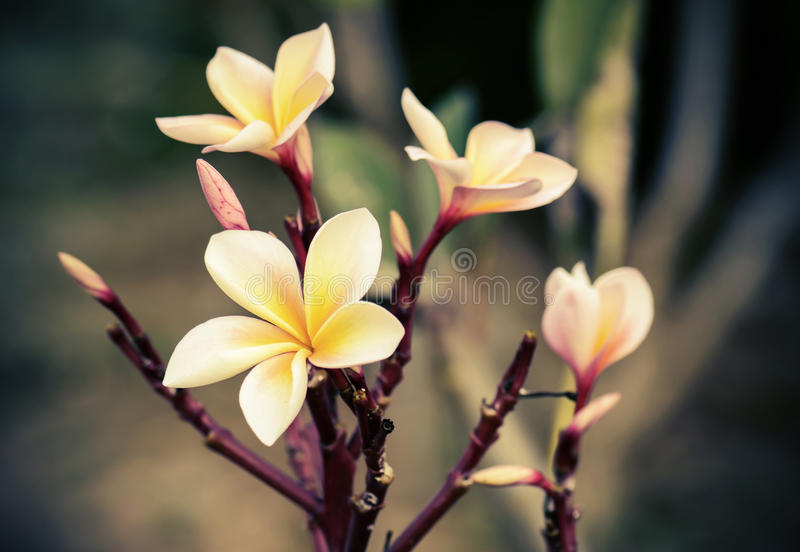 Vintage retro effect image of plumeria flowers royalty free stock photography