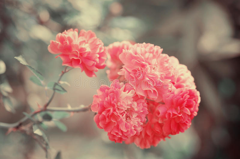 Vintage rose flowers. Close up toned in green and red stock photography