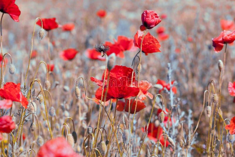 Vintage rouge de pavots images libres de droits