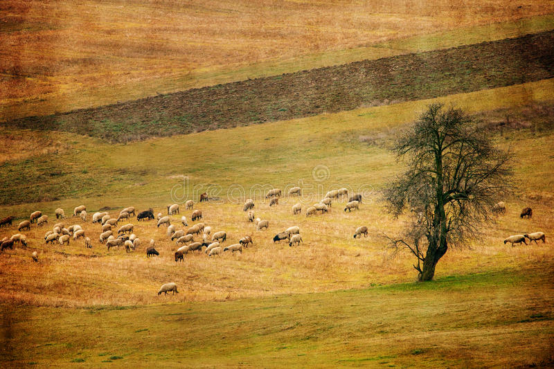 Vintage sheep and meadows panoramic landscape royalty free stock image