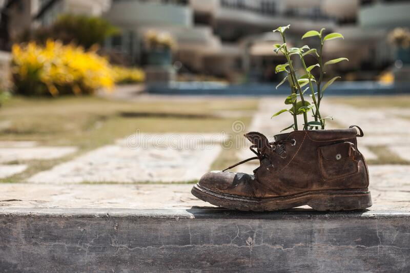 Old shoe with plant in the garden stock photo