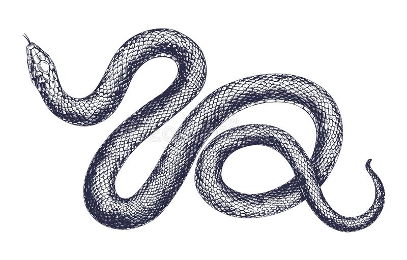 Vintage snake vector engraving illustration. Hand drawing dangerous reptile isolated on white background. Realistic. Tropical wild predator. Black and white stock illustration