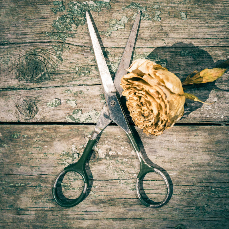 Vintage style composition with retro scissors. And faded rose on an old painted wooden background royalty free stock photography