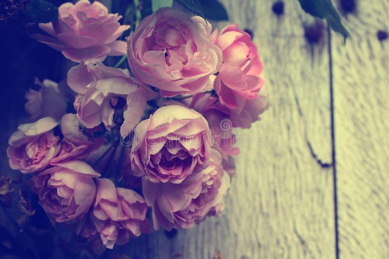 Vintage style effect beautiful pink rose blossom royalty free stock image